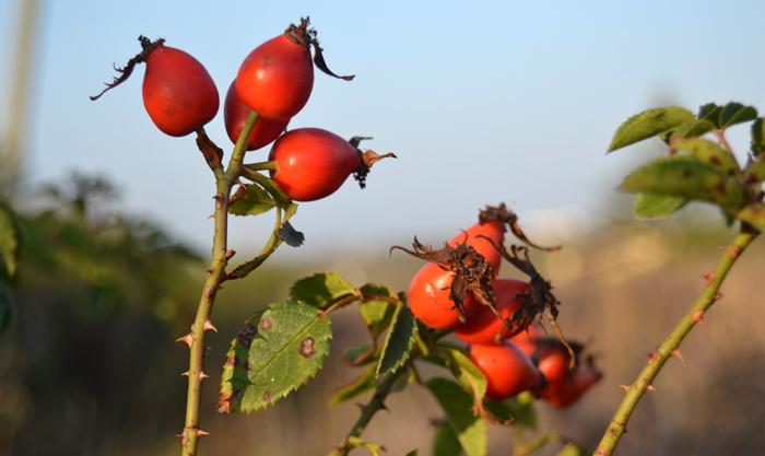 O óleo de rosa mosqueta é feito com as sementes das roseiras.